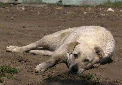 Krwawa strona mundialu w Rosji – do czerwca z ulic rosyjskich miast mają zniknąć setki tysięcy bezdomnych psów i kotów